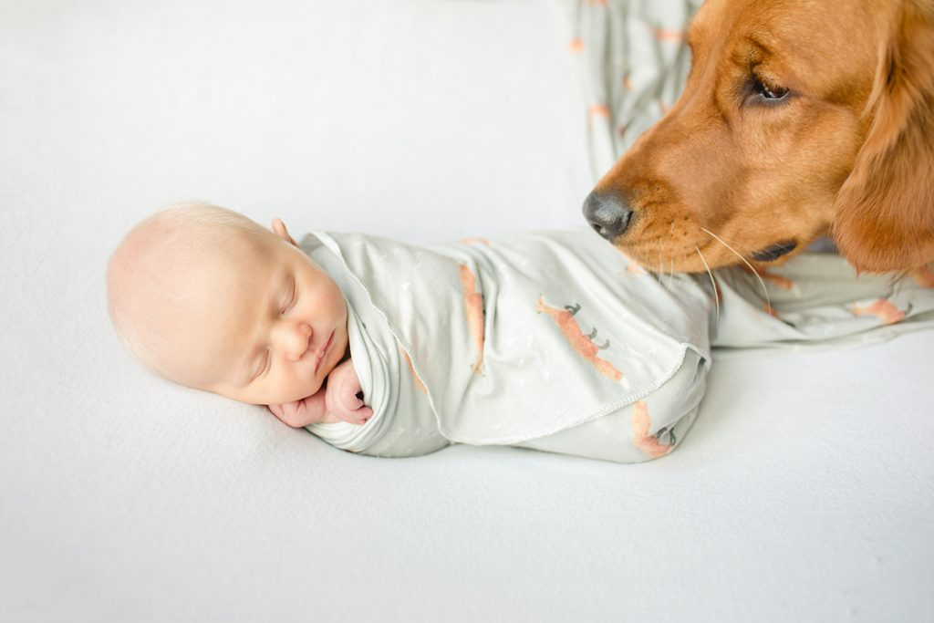 Posed newborn photo of a dog looking at his new baby while baby sleeps on a white backdrop